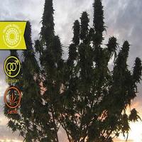 Tropical Seeds Co Ciskei Regular