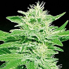 Advanced Seeds Ice Kush Feminized (PICK n MIX)