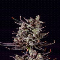 Genofarm Seeds Purple Haze Auto Feminized