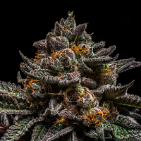 Ripper Seeds Brain Cake Feminized
