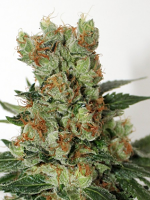 Ripper Seeds Fuel O.G. Feminized (PICK N MIX)