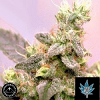 Sagarmatha Seeds White Russian Auto Feminized