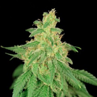 House of the Great Gardener Seeds CBD René Feminized