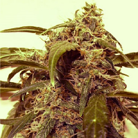 Shortstuff Seeds Assassin Auto Feminized