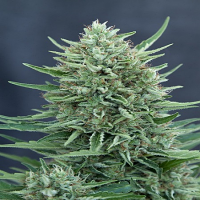 Grass-o-Matic Seeds MED GOM Auto Feminized