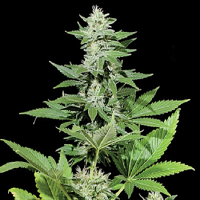 Kera Seeds White Widow Feminised