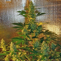 Mosca Seeds Old Time Bubba Kush Regular