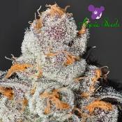 Anesia Scout Cookies - Feminized - Anesia Seeds