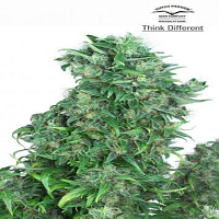 Dutch Passion Seeds Think Different Auto Feminized (PICK N MIX)