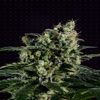 Genofarm Seeds Easy Haze Feminized
