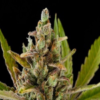 Dinafem Seeds Critical Kush Feminized