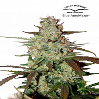 Dutch Passion Seeds Blue AutoMazar Feminized