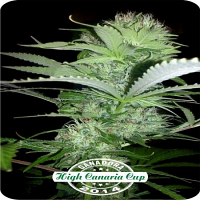 Dispensario Seeds Rehab Feminized