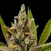 Dinafem Seeds Critical Kush Feminized (PICK N MIX)