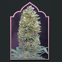 OO Seeds Auto Bubble Gum Feminized