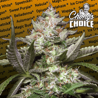 Auto Kong 4 - Feminized - Chong's Choice Collection