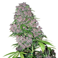 White Label Seed Company Purple Bud Feminized
