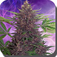 Buddha Seeds Purple Kush Auto Feminized