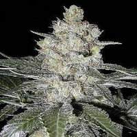 Seedsman Seeds Original Skunk #1 Regular