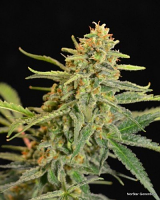 NorStar Genetics Seeds Golden Child Regular