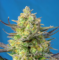 Sweet Seeds Sweet Cheese XL Auto® Feminized