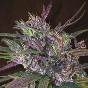 Oldtimer's Haze - Regular - Ace Seeds