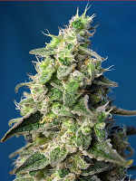 Sweet Seeds Green Poison XL Auto® Feminized