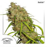 Dutch Passion Seeds Desfrán Feminized