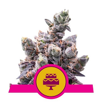 Royal Queen Seeds Wedding Gelato Feminized
