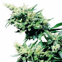 Hash Plant – Regular – Sensi Seeds