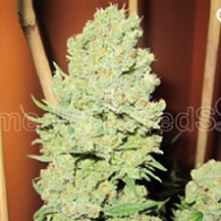 Medical Seeds Channel + Feminized