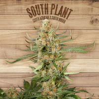 The Plant Organic Seeds South Plant Feminized