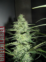 Green Label Seeds Ace Silver Haze Feminized
