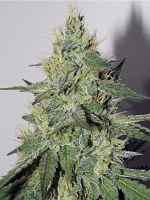 Mephisto Genetics Seeds Chemdogging Auto Feminized (PICK N MIX)