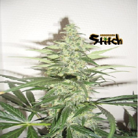 Flash Autoflowering Seeds Sour Diesel Haze Auto Feminized