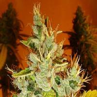 Lady Sativa Genetics Seeds Aphasia Haze Regular