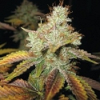 Spliff Seeds Master Kush Regular (Bronze)