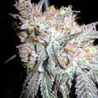 BC Bud Depot Seeds The Black Feminised