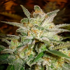World of Seeds Legends Collection Star 47 Feminized