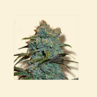 Bulk Seeds Trainwreck Feminized