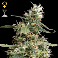 Green House Seeds Arjans Ultra Haze #1 Feminized