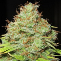 Ultra Genetics Seeds Machine Gun Funk Regular