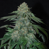 O.G. Kush Automatic - Feminized - Sensible Seeds Premium Selection