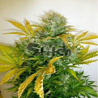 Flash Autoflowering Seeds Kush Van Stitch Auto Feminised