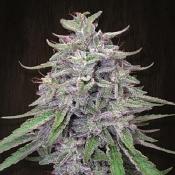 Bangi Haze - Feminized - Ace Seeds