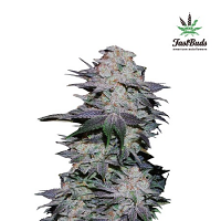Blackberry Auto – Feminized – Fast Buds