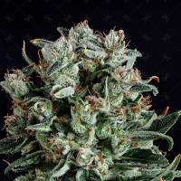 Genofarm Seeds Big Shark Feminized
