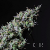 R-KIEM Seeds Icer Feminized