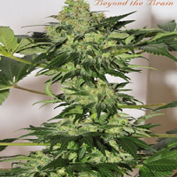Mandala Seeds Beyond the Brain Regular