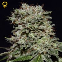 Green House Seeds Kalashnikova Feminized
